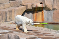 Strolling πολική αρκούδα Στοκ Εικόνες
