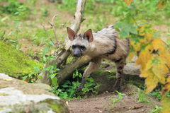 Strolling aardwolf Stock Images