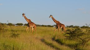 Look at those giraffes! royalty free stock photography