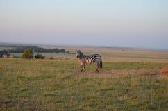 Look at this Zebra! royalty free stock photos