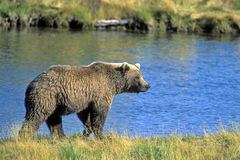Strolling Alaskan Grizzly Royalty Free Stock Photo