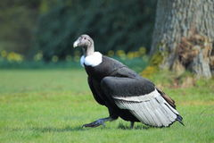 Strolling andean condor Stock Photo