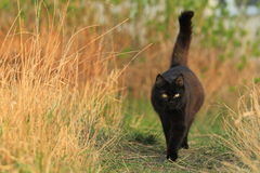 Strolling black cat Stock Image