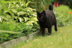 Strolling black cat Stock Photos