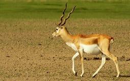 A strolling blackbuck. A blackbuck (Antilope cervicapra) roaming in Tal Chhapar national park in the Shekhawati region, Rajasthan, India Stock Images