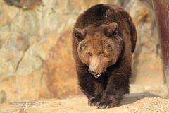 Strolling brown bear Royalty Free Stock Images