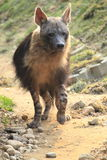 Strolling brown hyena. The strolling brown hyena in the path royalty free stock images