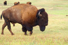 Strolling Bull Bison Royalty Free Stock Images
