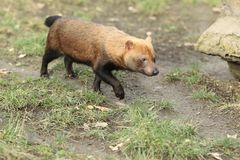 Strolling bush dog. In the soil Royalty Free Stock Photography