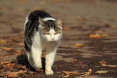 Strolling cat Royalty Free Stock Images