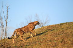 Strolling cheetah Stock Photography