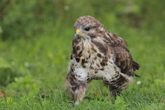 Strolling common buzzard Stock Photos