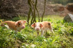Strolling cute piglets at dusk. Piglets bred in the countryside of China stock photography