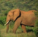 Strolling Elephant Royalty Free Stock Photo