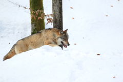 Strolling eurasian wolf Stock Image