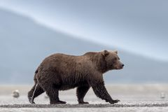A strolling, female grizzly bear, peeing on the beach. stock photos