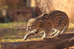 Strolling fishing cat Stock Images