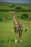 Strolling giraffe. Giraffe strolling through the Masai Mara National Reserve Royalty Free Stock Image