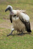 Strolling griffon vulture Royalty Free Stock Photo