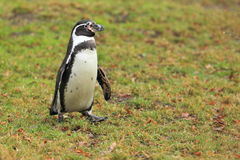 Strolling Humboldt penguin Royalty Free Stock Photography