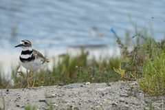 Strolling killdeer Stock Photo