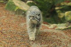 Strolling manul Royalty Free Stock Photography