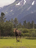 Strolling Moose Royalty Free Stock Photos
