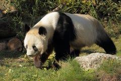 Strolling panda Στοκ εικόνες με δικαίωμα ελεύθερης χρήσης