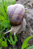 Strolling after rain. A snail strolling in the garden after rain Royalty Free Stock Photo