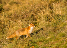 Strolling Red Fox Stock Photos