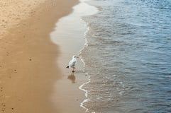 Strolling seagull Στοκ Εικόνες