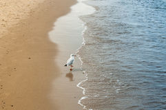 Strolling seagull Stock Images