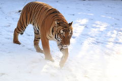 Strolling tiger Stock Photography