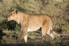 Strolling wet old lioness Stock Image