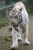 Strolling white tiger Stock Photo