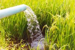 Strom eingezogene Reissämlinge Stockfotografie