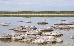 Stromatolite Clusters. Clusters of stromatolite fossils in Lake Thetis with coastal vegetation under an overcast sky in Western Australia stock images