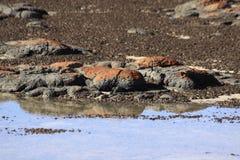Stromatolites特写镜头在哈默尔恩水池澳大利亚西部的 库存照片