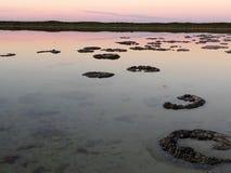 Stromatolites,湖Thetis,澳大利亚 库存照片
