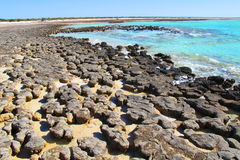Stromatolites,鲨鱼湾,西澳州 库存照片