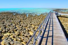 Stromatolites, bahía del tiburón, Australia occidental Foto de archivo libre de regalías