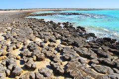 Stromatolites hajfjärd, västra Australien Arkivfoto