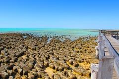 Stromatolites hajfjärd, västra Australien Royaltyfria Foton
