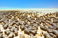 Stromatolites an Hamelin-Pool - Denham lizenzfreies stockfoto
