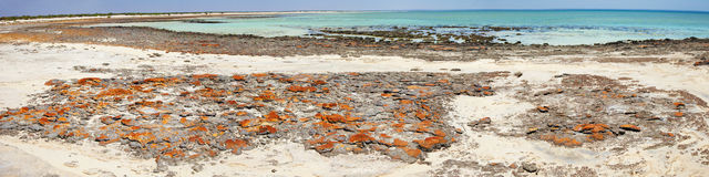 Stromatolites in Hamlin Pool. Panoramic of Stromatolites taken in Hamlin Pool, Western Australia Stock Image