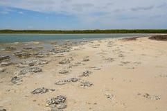 Stromatolites - Meer Thetis stock foto