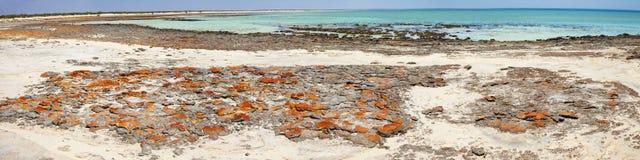Stromatolites nel raggruppamento di Hamlin Immagine Stock