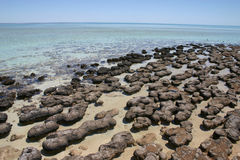 Stromatolites västra Australien Royaltyfria Bilder