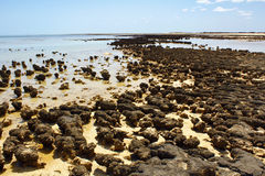 Stromatolites in west australia Royalty Free Stock Photo
