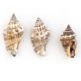Strombidae Shells Royalty Free Stock Photos